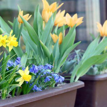 svogūninės gėlės lauko vazonuose bei loveliuose kaip auginti