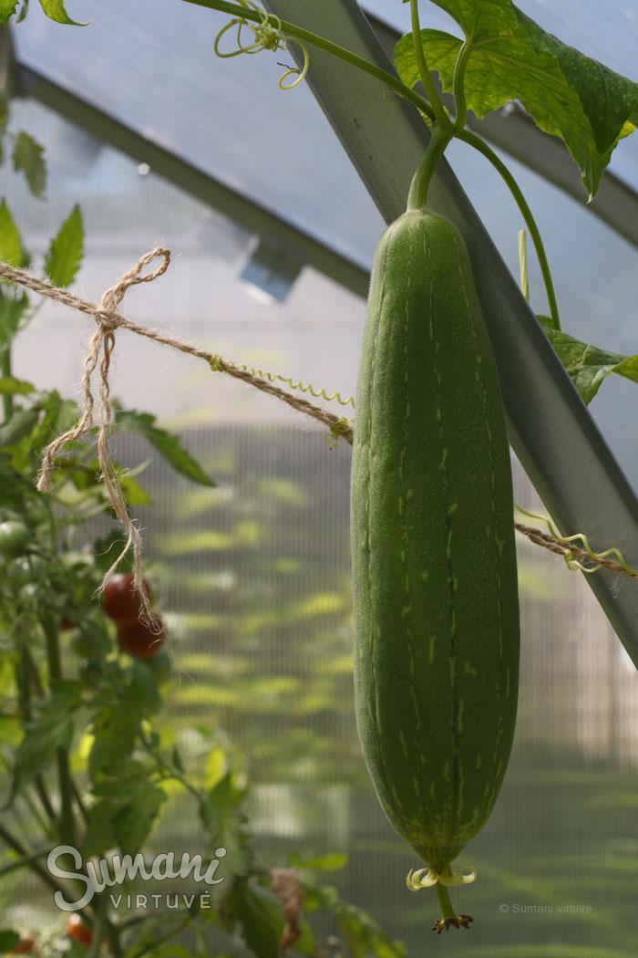 lufos auginimas lietuvoje